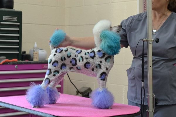 A poodle with dyed fur like a blue cheeta