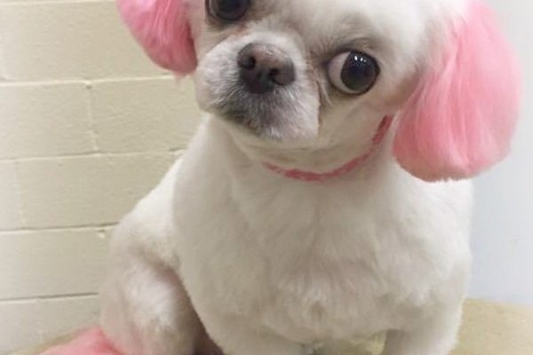 A small white dog with with dyed pink hair